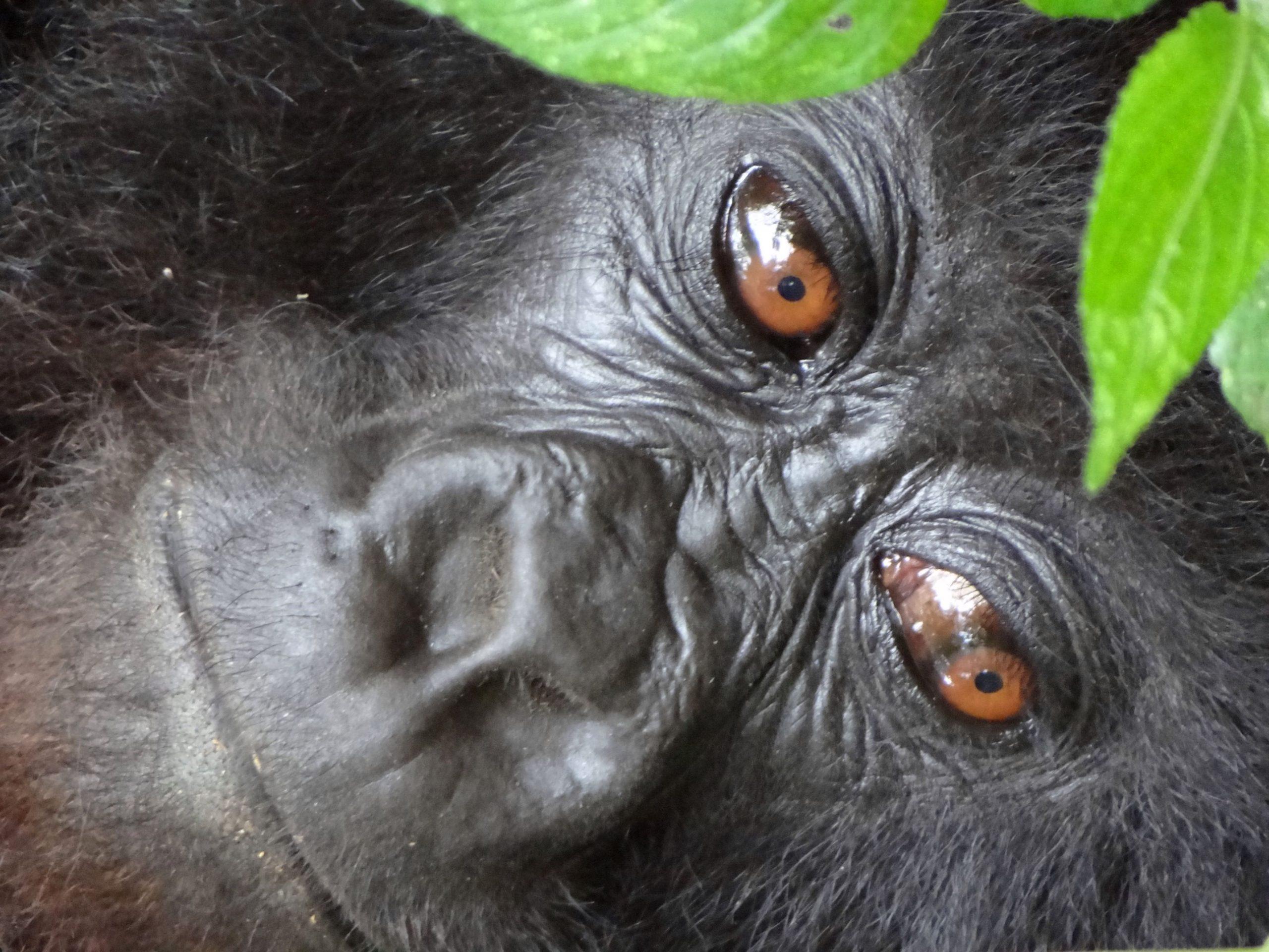 Rwanda, Virunga National park, wild mountain gorilla