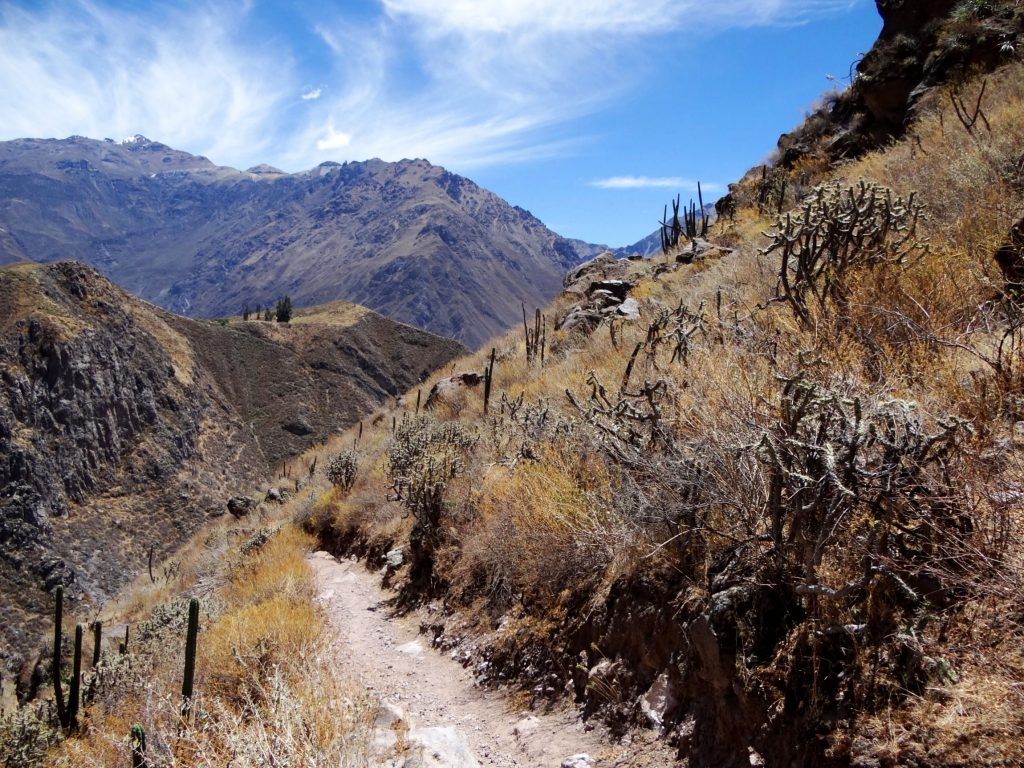 Colca canyon with san pedro cacti