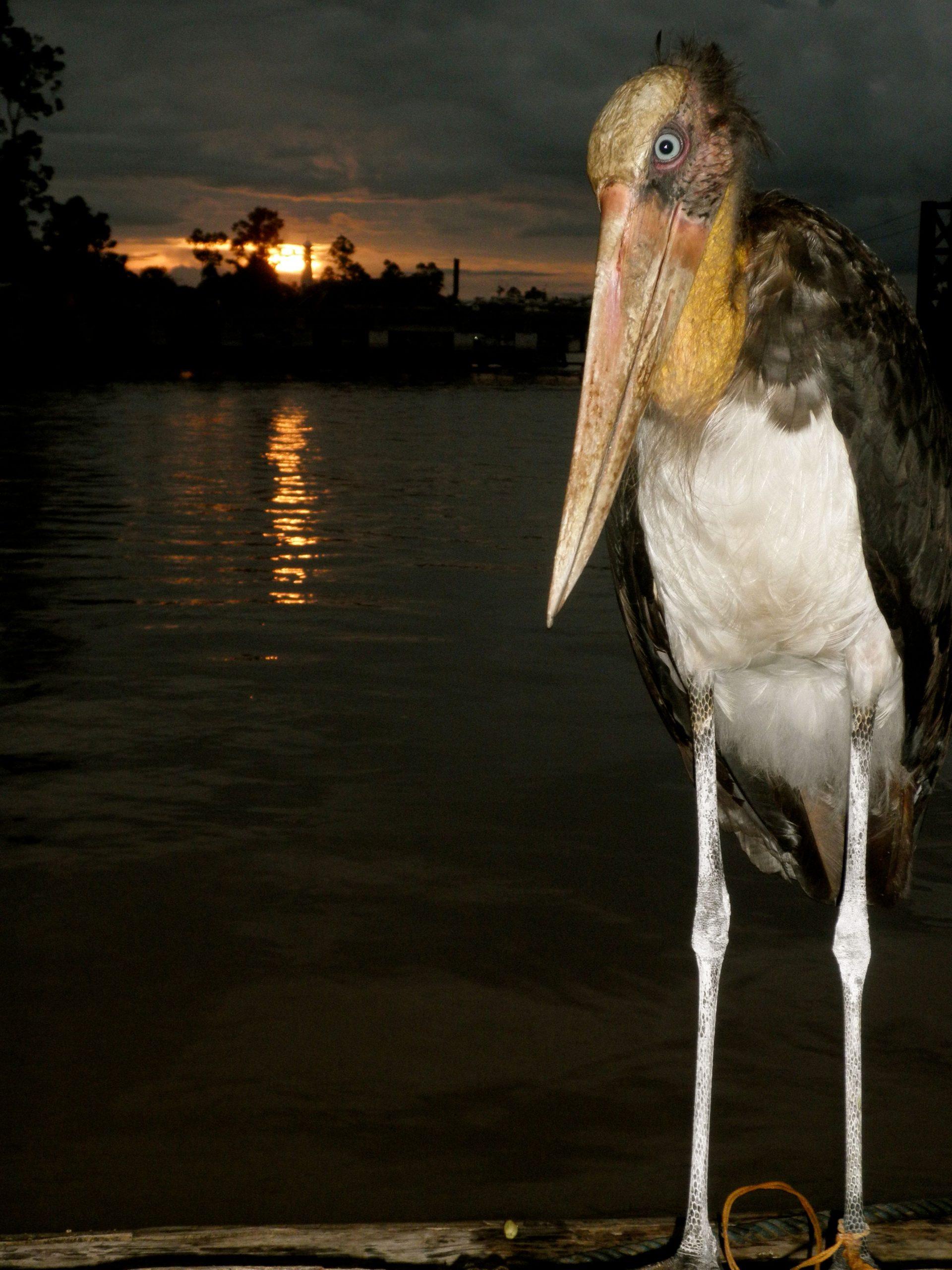 Kalimantan rescue stork